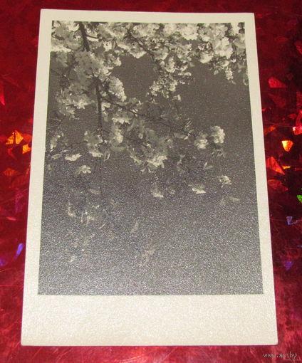 Старое ч/б фото Цветущая яблоня