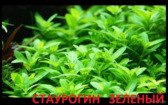 Стаурогин зеленый почвопокров и др. растения. НАБОРЫ для запуска акваса. ПОЧТОЙ и МАРШРУТКОЙ отправлю.