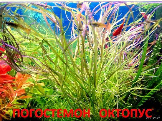 Погостемон октопус и др. растения. НАБОРЫ растений для запуска. ПОЧТОЙ и МАРШРУТКОЙ отправлю.