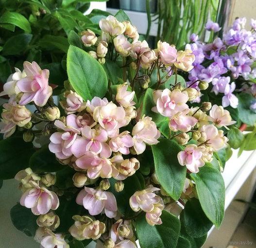 Фиалка РС-Зимний цветок, лист