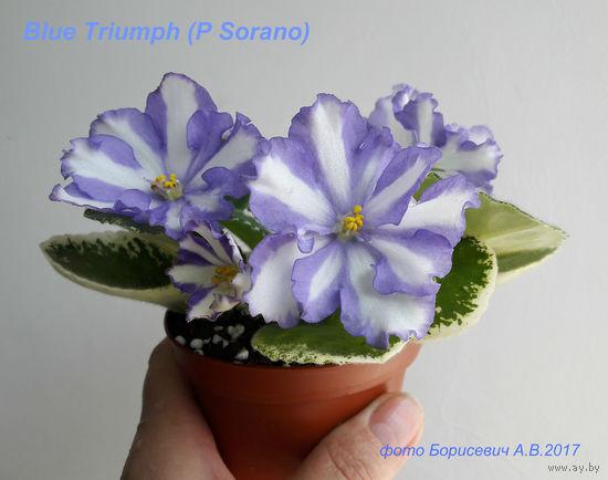 Фиалка Blue Triumph (пасынок выращенный с цветоноса фото в лоте)